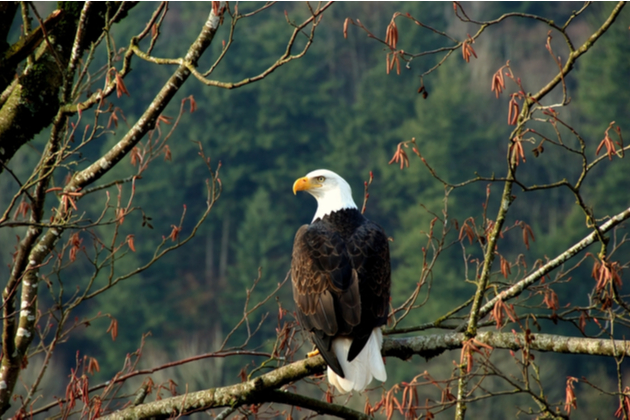 Photograph of an American Bald Eagle who has landed on a branch, and is looking out over a woodland of trees.