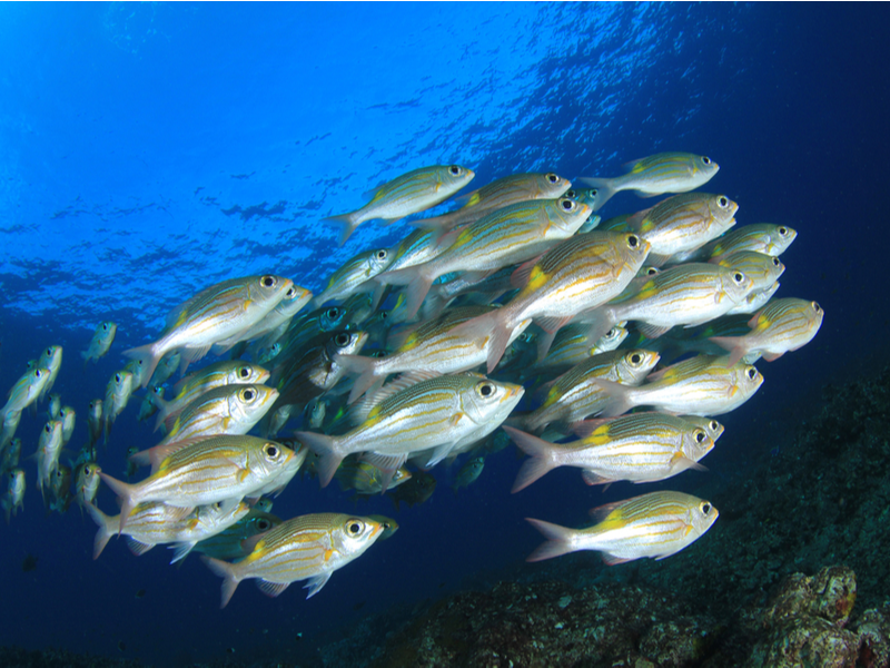 Photograph of a shoal of silver and orange healthy looking fish swimming in a dark blue ocean